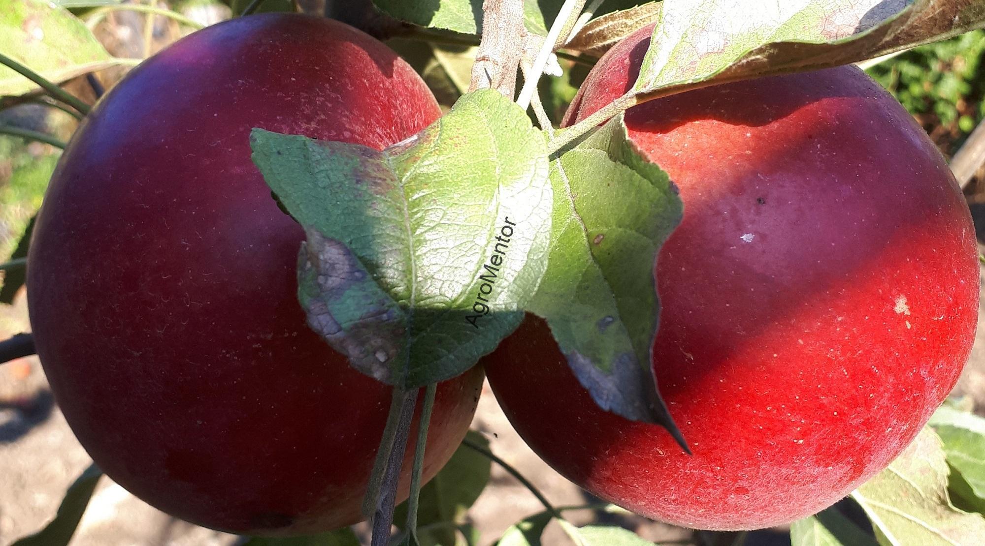 tratamentul artrozei cu un măr adam
