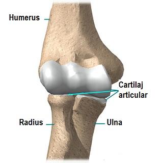 extensia articulațiilor cotului brațelor în timpul extensiei