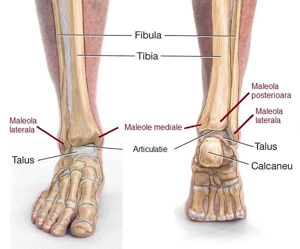 Fibula: Funcție, Anatomie Și Boli 💊 Științifico-Practic Medical Journal -