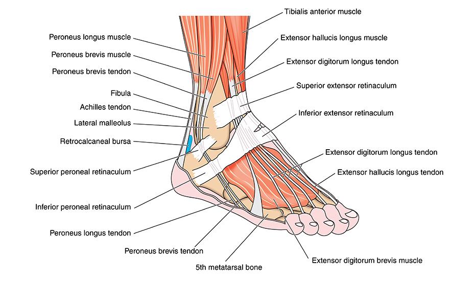 durere la ligamentul gleznei sau articulației