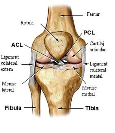 articulația genunchiului
